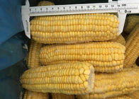 100% Fresh IQF Frozen Vegetables , High Grade Whole Sweet Sticky Corn supplier